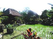 自家製米を栽培