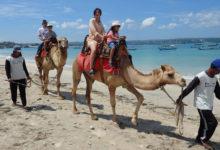 バリ島のビーチでキャメルライド!Bali Camel Adventure | バリ島 動物ふれあ