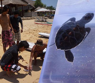 トキメキバリ島観光 厳選レンボンガン島 ングローブ林とレンボンガン島まるごと一周観光ツアー 子ガメの放流 プロジェクト 画像