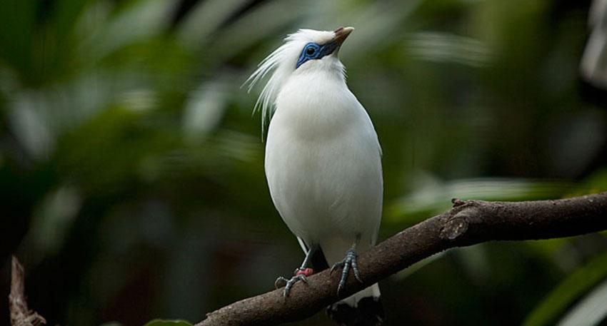 インドネシア固有のジャラッ・プティ