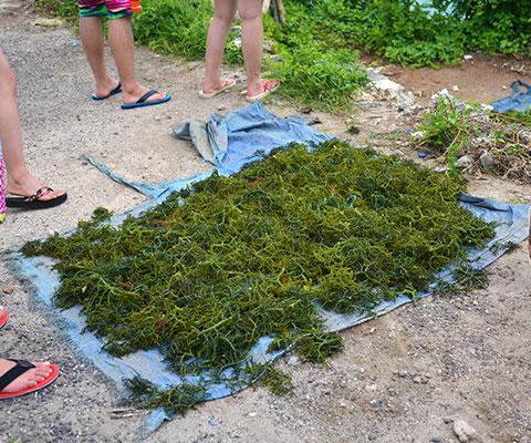 天草はレンボンガン島名産です